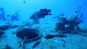 Морской окунь на палубе развалины видеоматериал