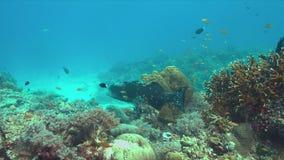 Морской окунь на тростнике коралла видеоматериал
