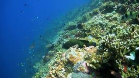 Морской окунь павлина сток-видео