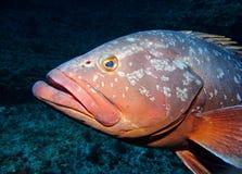 Морской окунь Стоковые Изображения RF