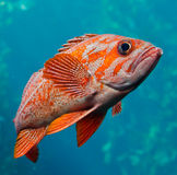 Морской окунь Стоковая Фотография RF