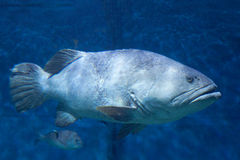 Морской окунь Стоковое фото RF