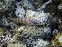 Морской окунь blacktip стоковые фото