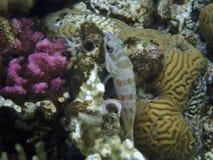 Морской окунь blacktip стоковые фотографии rf