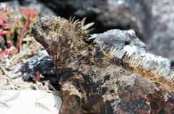морской пехотинец игуаны стоковое фото