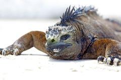 морской пехотинец игуаны galapagos Стоковые Изображения