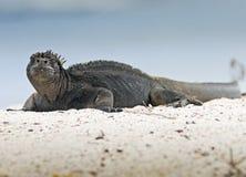 морской пехотинец игуаны galapagos Стоковая Фотография RF