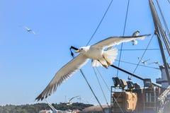Морской пехотинец и чайка Хорватии Стоковая Фотография