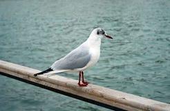 морской пехотинец чайки Стоковые Фото
