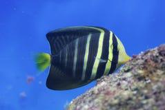 морской пехотинец aguarium Стоковое Изображение RF