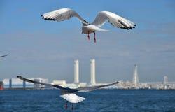 2 морской птицы которая летают в небо Стоковое фото RF