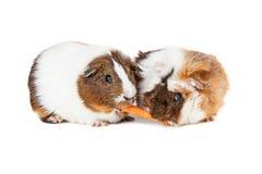 2 морской свинки деля морковь стоковые фотографии rf