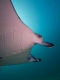 Морской дьявол рифа Стоковые Фото