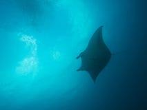 Морской дьявол рифа Стоковые Фотографии RF