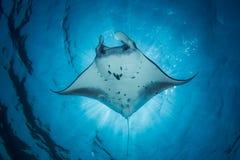 Морской дьявол - Manta Alfredi Стоковое Изображение RF