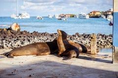 Морсой лев в островах Galpagos стоковые фотографии rf