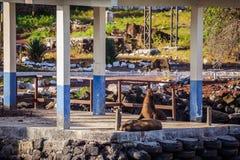 Морсой лев в островах Galpagos стоковое изображение rf