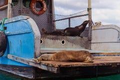 Морсой лев в островах Galpagos стоковые изображения