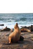 Морсой лев греясь в Солнце Стоковая Фотография RF