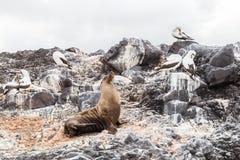 Морсой лев и птицы Галапагос греясь на пляже Стоковые Фотографии RF