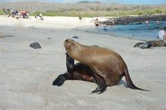 Морсой лев на побережье Галапагос. Стоковые Изображения RF