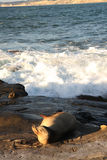 Морсой лев на пляже La Jolla Стоковое Изображение RF