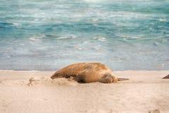 Морсой лев, парк консервации залива уплотнения, остров кенгуру, SA, Австралия Стоковое Изображение