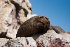 Морсой лев спать в Islas Ballestas, Перу стоковые изображения rf