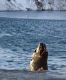 Морсой лев Steller стоковая фотография rf