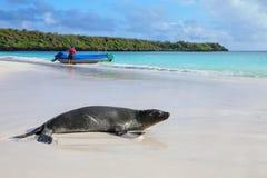 Морсой лев Галапагос на пляже на заливе Gardner, остров Espanola, стоковое изображение rf