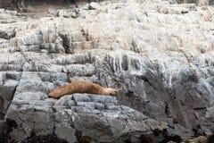 Морсой лев Стоковые Изображения RF