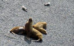Морсые львы на береге океана Стоковое фото RF