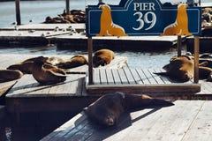 Морсые львы на пристани 39 в Сан-Франциско, Калифорнии, США Стоковые Изображения RF