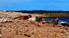 Морсые львы на пляже в Шотландии Стоковые Изображения
