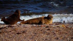 Морсые львы на пляже в Шотландии Стоковые Фото