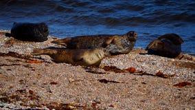 Морсые львы на пляже в Шотландии Стоковое фото RF
