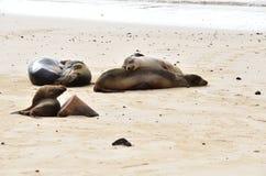 Морсые львы на пляже Стоковое фото RF