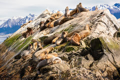 Морсые львы на isla в канале бигля около Ushuaia Аргентины Стоковые Изображения RF