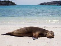 Морсые львы ослабляя в островах Галапагос Стоковое фото RF