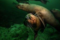 Морсые львы подводные стоковые фото