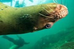 Морсые львы подводные стоковая фотография