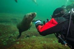Морсые львы подводные стоковые изображения