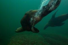 Морсые львы подводные стоковое фото