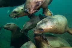 Морсые львы подводные стоковое изображение