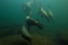 Морсые львы подводные Стоковое Изображение RF