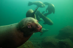 Морсые львы подводные стоковое фото rf