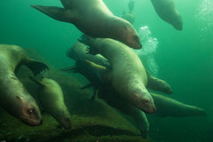 Морсые львы подводные Стоковые Фотографии RF