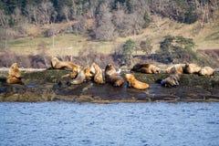 Морсые львы стоковое фото