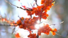 Мор-крушина Пуки крушины моря на дереве закрывают вверх в солнечности в природе сада, rhamnoides Hippophae море поля крушины глуб видеоматериал