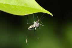 Москит малярии Стоковые Фотографии RF